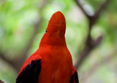 Pajaro Rojo